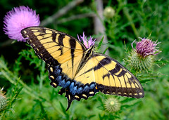 Eastern Tiger Swallowtail (Dalliance with Light) Tags: female davidsonsmillpondpark blue macro butterfly nature nj easterntigerswallowtail yellow thistle northbrunswicktownship newjersey unitedstates us