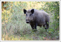 un monstre !!! (guiguid45) Tags: nature sauvage animaux mammifres fort loiret fortdorlans d810 nikon 500mmf4 sangliers cochons