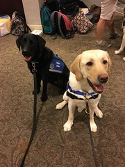 Calvin & his good therapy dog buddy Grant at the HDGT (hero dogs) Tags: dog labrador cute therapydog servicedog