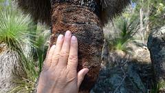 Xanthorrhoea johnsonii trunk (John Tann) Tags: muluerindie warrabahnationalpark nsw australia september 2016 geo:country=australia grasstree xanthorrhoeajohnsonii xanthorrhoeaceae xanthorrhoea johnsonii taxonomy:family=xanthorrhoeaceae taxonomy:binomial=xanthorrhoeajohnsonii