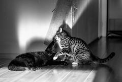 Kapow! (WillemijnB) Tags: playtime cats katten kat chats chatseuropen kapow fight play playing bw sunlight sun soleil zon spelen speeltijd zonnig shadows schaduw ombres