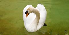 Der Schwan (junghahn24) Tags: bird march spring swan mallorca schwan mrz mediterraneansea vogel frhling balearicislands mittelmeer balearischeinseln