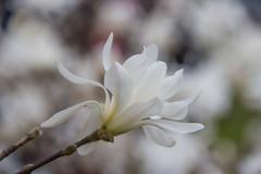 Magnolia (Infomastern) Tags: white flower magnolia blomma helsingborg vit stadsparken attackfoto