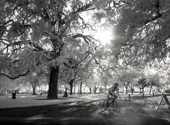 nice day for a ride (Robert Couse-Baker) Tags: man bicycle oak infrared sacramento roadbike americanriverbiketrain