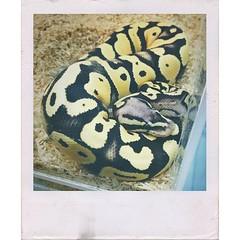 เค้าว่าดีนะ ดีนะ ถ้าเราฝันเห็นงู 🐍 #snake #petexpo2015