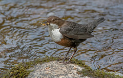 JWL5647  Dipper..... (jefflack Wildlife&Nature) Tags: nature birds countryside wildlife ngc avian waterbirds dipper wildbirds dippers riverbirds