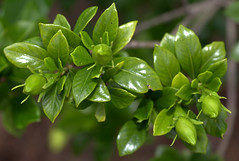 IMG_8665.CR2 (jalexartis) Tags: flowers flower spring fragrant bloom blooms shrub gardenia shrubbery