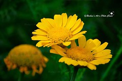 The other Story............. I am withered But cant be seen As your love story is so beautiful  You are surrounded by friends and happiness  I slowly died but no one noticed Yet the process was so poetic  As I was the broken one  You were still in the ch (Rashmi's Art n Photo Corner) Tags: macro love yellow nikon poetry arty ilovephotography everythingisart floweres rashmisartnphotocorner