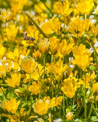 Flower 8 Bee Pollination (Jon Sharp) Tags: flowers project cornwall bee eden the