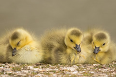Siblings - then there were three 710_9496.jpg (Mobile Lynn) Tags: wild england bird nature birds fauna geese unitedkingdom wildlife lakes goose gosling waterfowl ponds canadagoose canadageese freshwater estuaries marshes lagoons webbedfeet anseriformes fritham