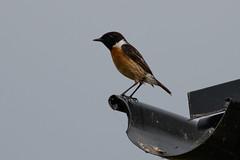 _F0A8007.jpg (Kico Lopez) Tags: birds rio spain aves galicia lugo mio saxicolarubicola tarabillaeuropea
