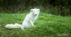 Renard arctique (Romain Beauvois) Tags: animaux parcomega ete