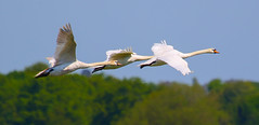 Mute swans (badger2028) Tags: flying flight swans mute cygnus olor