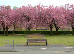 Pink Preston - 1 (Tony Worrall) Tags: county uk pink trees england color colour nature beauty bench season cherry relax outside outdoors spring nice stream tour open place natural northwest blossom unitedkingdom country seasonal north visit location lancashire prison cover seats area preston colourful lovely northern update pinkish attraction lancs cheeryblosom beautyofpreston welovethenorth