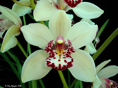 Cymbidium Red Eye Special 'Ori Gem' (Dylan's Orchids) Tags: x gem cymbidium ori tethys sanderae