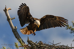 My Turn (20160427-142212-PJG) (DrgnMastr) Tags: bravo fb cropped eagles baldeagles littlestories oe2 oe1 avianexcellence diamondclassphotographer flickrdiamond gcng picswithsoul damniwishidtakenthat dmslair opticalexcellence grouptags allrightsreserveddrgnmastrpjg pjgergelyallrightsreserved ia42