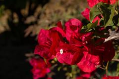 BUGANVILLAS (bacasr) Tags: red plants flower garden andalucía rojo plantas flor cádiz jardín beutiful buganvilla bouganville bellaza