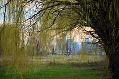 Under the willow trees (TracieMichelle) Tags: michigan detroit belleisle willowtrees