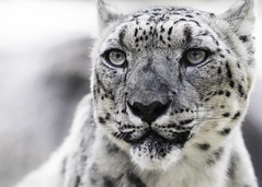 Ghost Cat (Paul E.M.) Tags: snow mountains asian feline leopard shan reclusive ounce panthera sdzoo uncia barys zigsa ilbirs