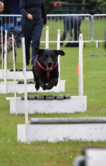Banbury Cross Flyball - In Flight