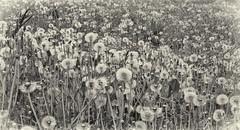 Happy Dandelions (Mulewings~) Tags: flowers blackandwhite dandelion toned efex