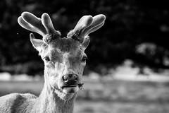 Velvet antlers (DrScottA) Tags: reddeer richmondpark london wildlife deer antler outdoor spring stag cervuselaphus portrait wild mammal blackandwhite bw monochrome animal