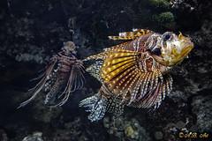 Two of them (A.B. Art) Tags: schnbrunn orange fish postprocessed nature animal zoo aquarium natur fisch lionfish tier nachbearbeitet rotfeuerfisch meeresfisch