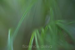 W-HGC-2-6129-low (florence delva) Tags: green grass horizontal closeup botanical photography papyrus blade selectivefocus macrophotography