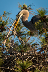 BestEffort (jmishefske) Tags: park county blue heron wisconsin dead pond nikon die great may lagoon milwaukee chicks greenfield runt 2016 westallis d800e