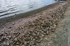 _IGP2529_30_31 (blackcloudbrew) Tags: riverside northshore hdr deadfish saltonsea da15limited pentaxk5