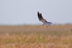 White-tailed Kite (Alan Gutsell) Tags: kite bird nature birds alan canon photo nationalpark texas wildlife 7d refuge whitetailed whitetailedkite anahaucnwr