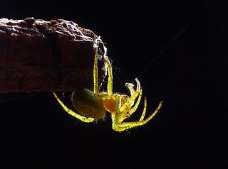 Orb Spider..x