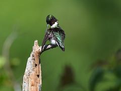 Colibri  gorge rubis  Ruby-throated Hummingbird (sylprince) Tags: iridescence iridescent hummingbird oiseaumouche sigma150600c