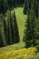 Yellowstone Meadow (HubbleColor {Zolt}) Tags: trees wildflowers wy meadow green yellowstonenationalpark yellow travel wyoming