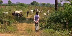 INDIEN, unterwegs nach Khajuraho, 14142 (roba66) Tags: indienunterwegsnachkhajuraho m cow rinder khe indien indiennord asien asia india inde northernindia urlaub reisen travel explore voyages visit tourism roba66 indianlife indianscene aufdenstrasen landschaft landscape