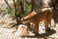 Fort Worth 7-17-2016 419 (chad1380) Tags: mountain nature animal animals cat zoo lion cougar