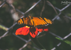 Papillon (Pauluna B.) Tags: butterfly papillon nature green orange red black colorful cute naturally animal animals tree trees flower flowers digital photo photography vintage old art fade faded love lovely shot cool