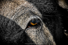 look to the eye of wild boar (pajus79) Tags: park light shadow wild eye look animal forest hair pig nikon call close skin head watch hunting visit part wait boar encounter territory enclose d80 55200456