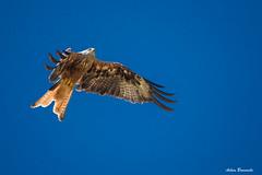 Against the wind ... (acbrennecke) Tags: achimbrennecke bird milan red flight wind against federn flgel wings nature sky blau blue