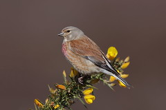 Linnet male (Hammerchewer) Tags: linnet bird male wildlife outdoor