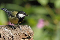 Plumage returning (david.england18) Tags: greattit plumage smallbirds various tits blue great coal queensparkheywood canon7d canonef300mmf4lisusm birdsuk