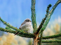 Waiting for mom (R_Ivanova) Tags: nature bird summer sony colors color rivanova риванова природа птици laniuscollurio outdoor songbird
