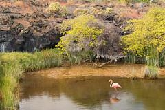 Flamingo Pond (dtredinnick13) Tags: flamingo galapagos puntomoreno lake bird birding water galapagosislands