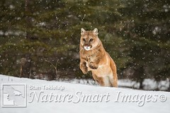Cougar in snow Tekiela TAN9452 (Stan Tekiela's Nature Smart Wildlife Images) Tags: allrightsreserved authornaturalistwildlifephotographer cougarpumaconcoloranimal mammals vertebrates vertibrate mammalia fur hair terrestrial land animal minnesota unitedstatesofamerica usa naturesmartimagesbystantekiela stantekiela copyright allrightsreservered stockimage professionalphotographer images wildlife animals nature naturalist wild stockphotos digitalimages critter stockimages undercontroledcondtions