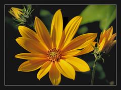 die Sonne am Abend !!! (karin_b1966) Tags: blume flower blte blossom pflanze plant garten garden natur nature 2016 topinambur yourbestoftoday