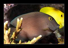 ALAIN2truncatus6604 (kactusficus) Tags: marine reef aquarium alain captive ecosystem rcifal acanthuridae chirurgien surgeonfish tang ctenochaetus truncatus bristletooth