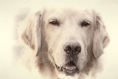 Love is Golden (Exdeltalady) Tags: pawsomephodography golden goldenretriever canine closeup dog portrait mansbestfriend loyal companion monotone