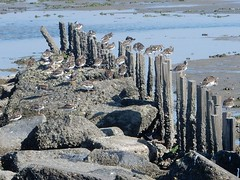 De Wadden bij De Cocksdorp, Texel (bcbvisser13) Tags: zeemeeuwen rots palen vogels dewadden texel decocksdorp noordholland nederland eu waddeneiland 170km2
