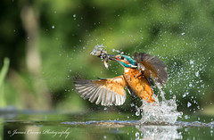 Triple Take !!! ... Explore 18-9-2016  #224 (Jim Crozier) Tags: kingfisher emerging canoneos1dx canon70200mmf28