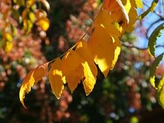 1 in Humility (Mertonian) Tags: yellow curvy humility mertonian leaves leaf robertcowlishaw fall autumn tree branch awe wonder beauty ineffable canon powershot g7x mark ii canonpowershotg7xmarkii lunchwalk elegant